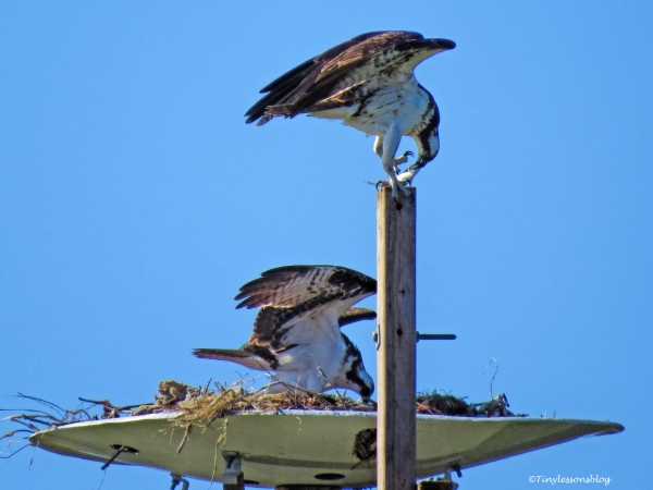 papa-osprey-inspects-the-eggs-ud109