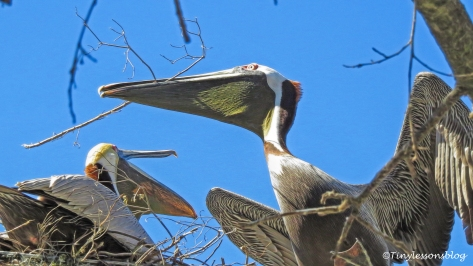 papa-pelican-brings-nest-materials-ud108