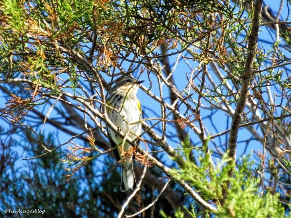 pine-warbler-male-ud109
