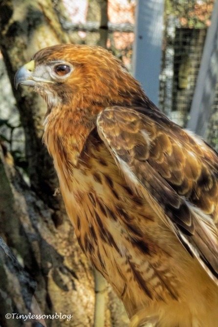 portrait-of-sheila-a-red-shouldered-hawk-ud108