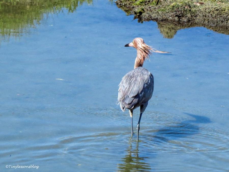 reddish-egret-ud107