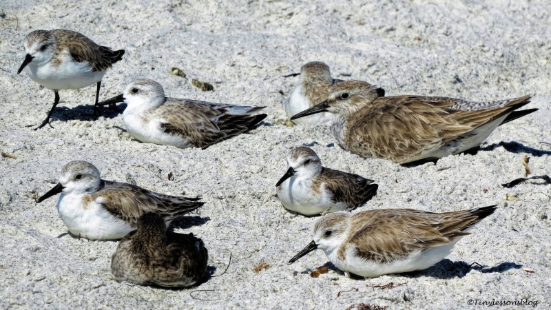 sanderlings-ud105