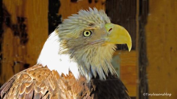 sarge-the-bald-eagle-ud108