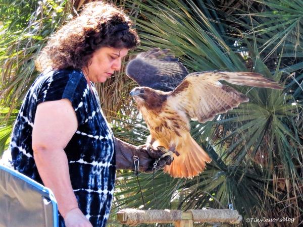 sheila-red-shouldered-hawk-with-her-handler-ud108