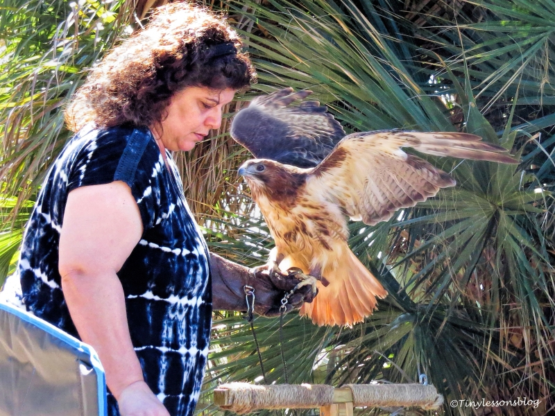 sheila-red-shouldered-hawk-with-her-handler-ud108