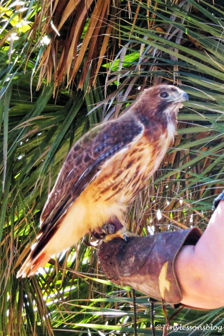sheila-the-red-shouldered-hawk-ud108