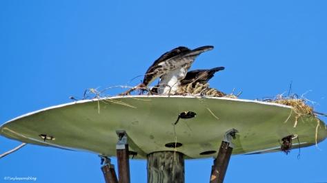 shift-change-at-osprey-nest-ud109