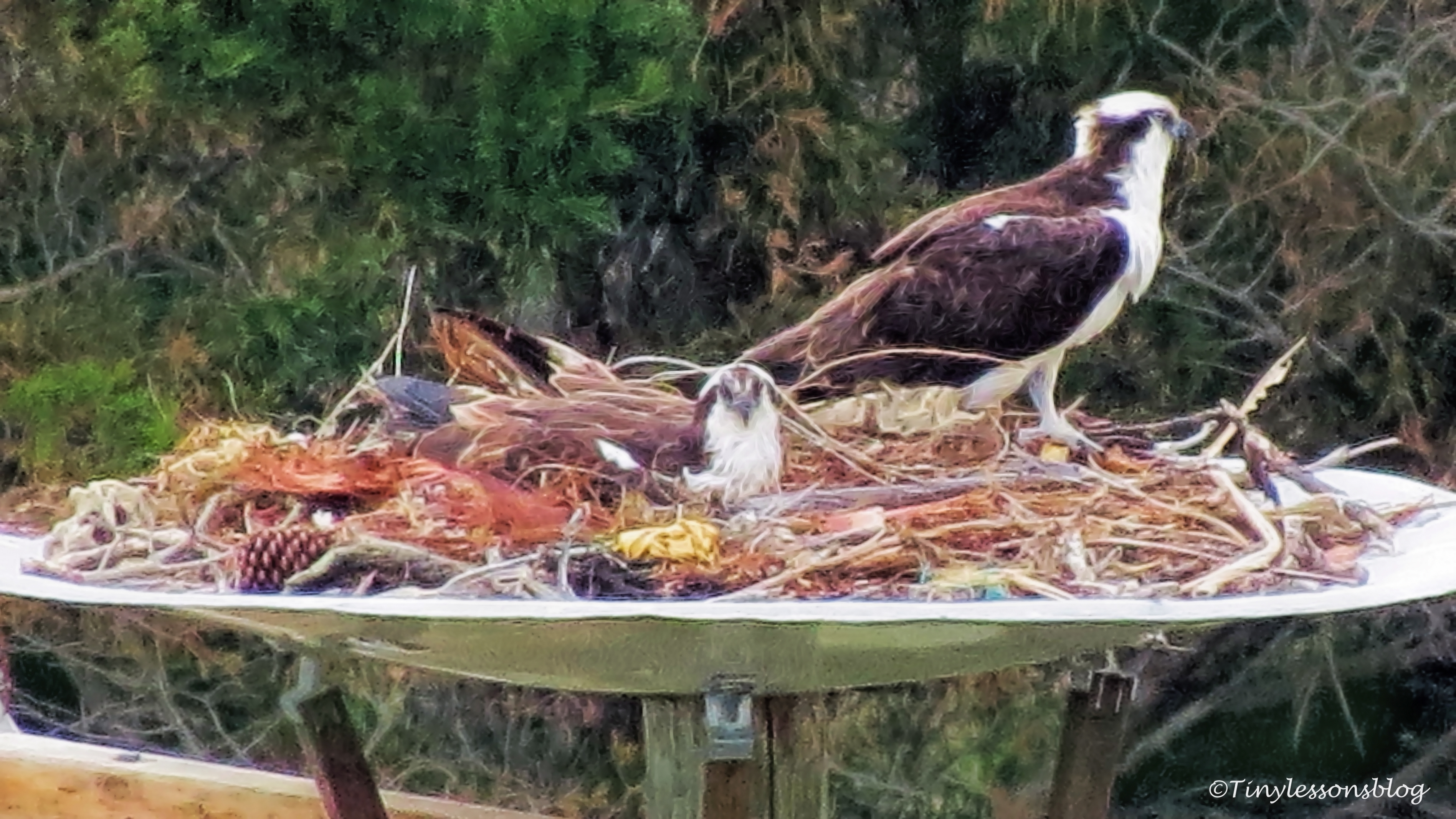 sitting-on-the-eggs-mama-and-papa-osprey-ud107