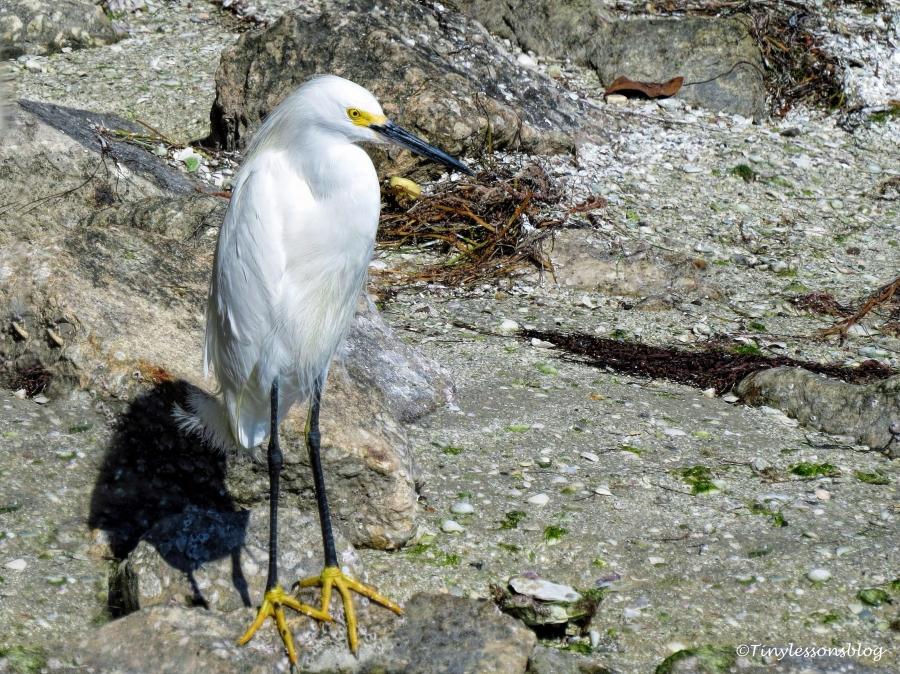 snowy-egret-ud105
