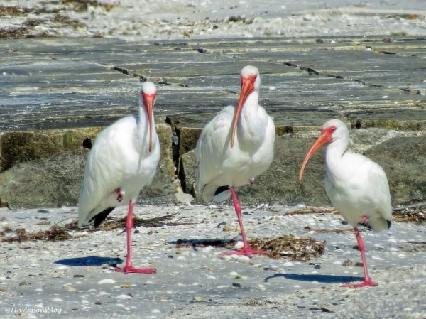 three-white-ibis-ud105