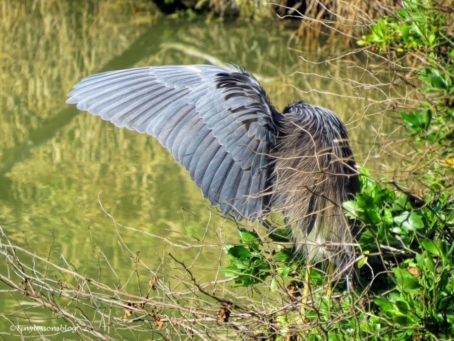 tricolored-heron-does-yoga-ud109