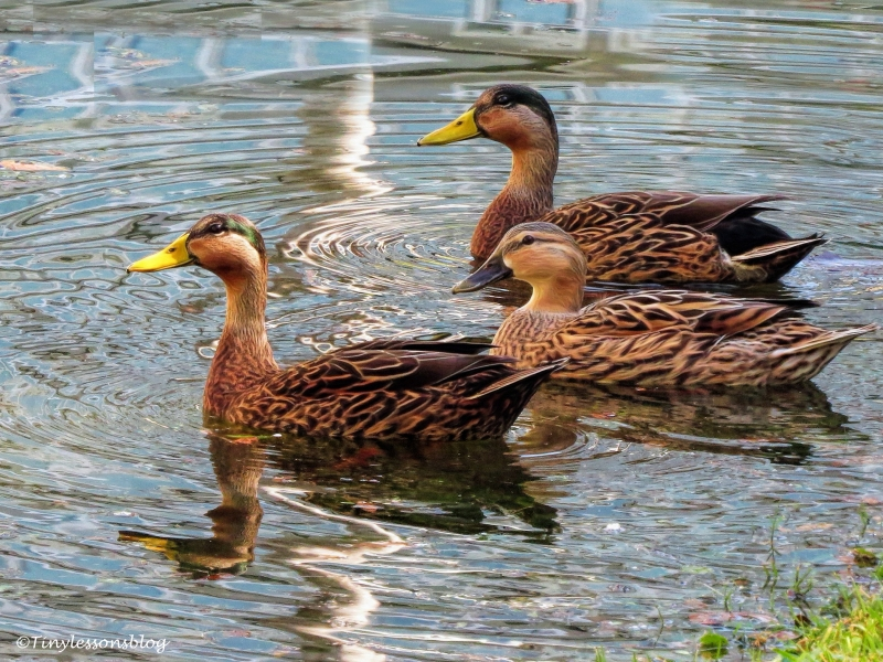 two-males-and-one-female-mottled-duck-ud107