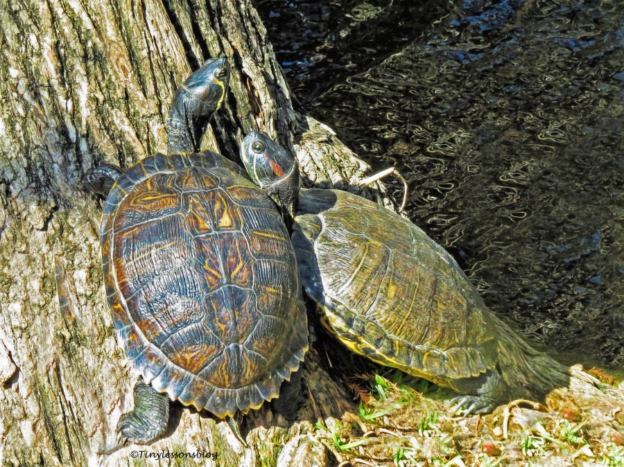two-turtles-ud108