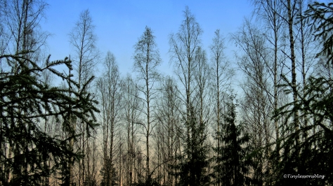 winter-forest-in-finland-ud106