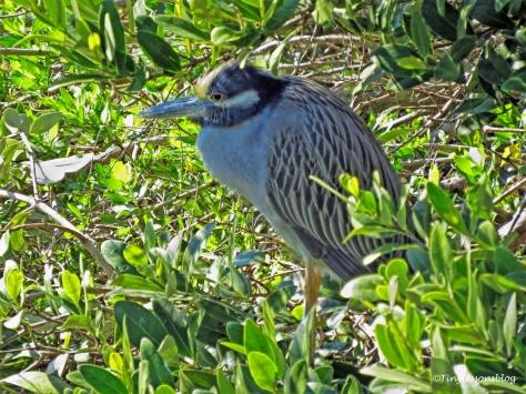 yellow-crowned-night-heron-ud105