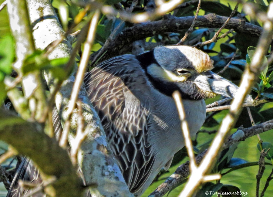 yellow-crowned-night-heron-ud109