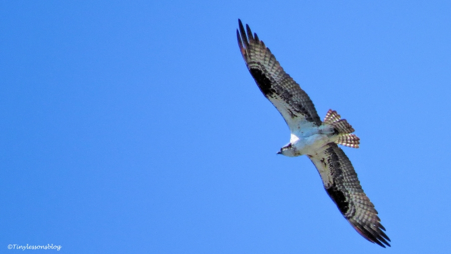 another female osprey ud113