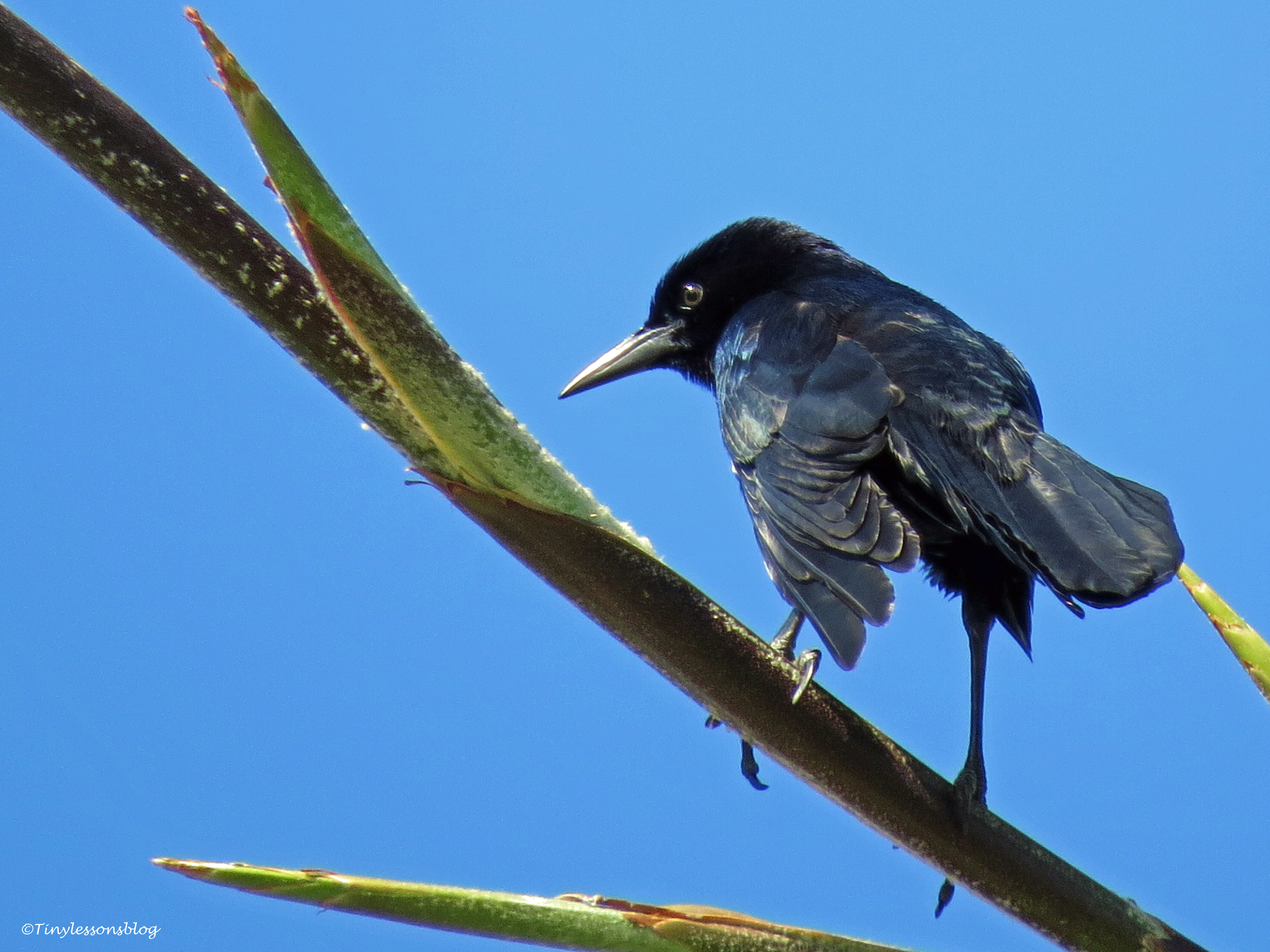 common grackle ud112
