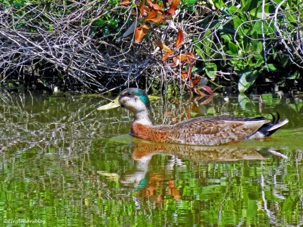 hybrid florida mottled duck ud113