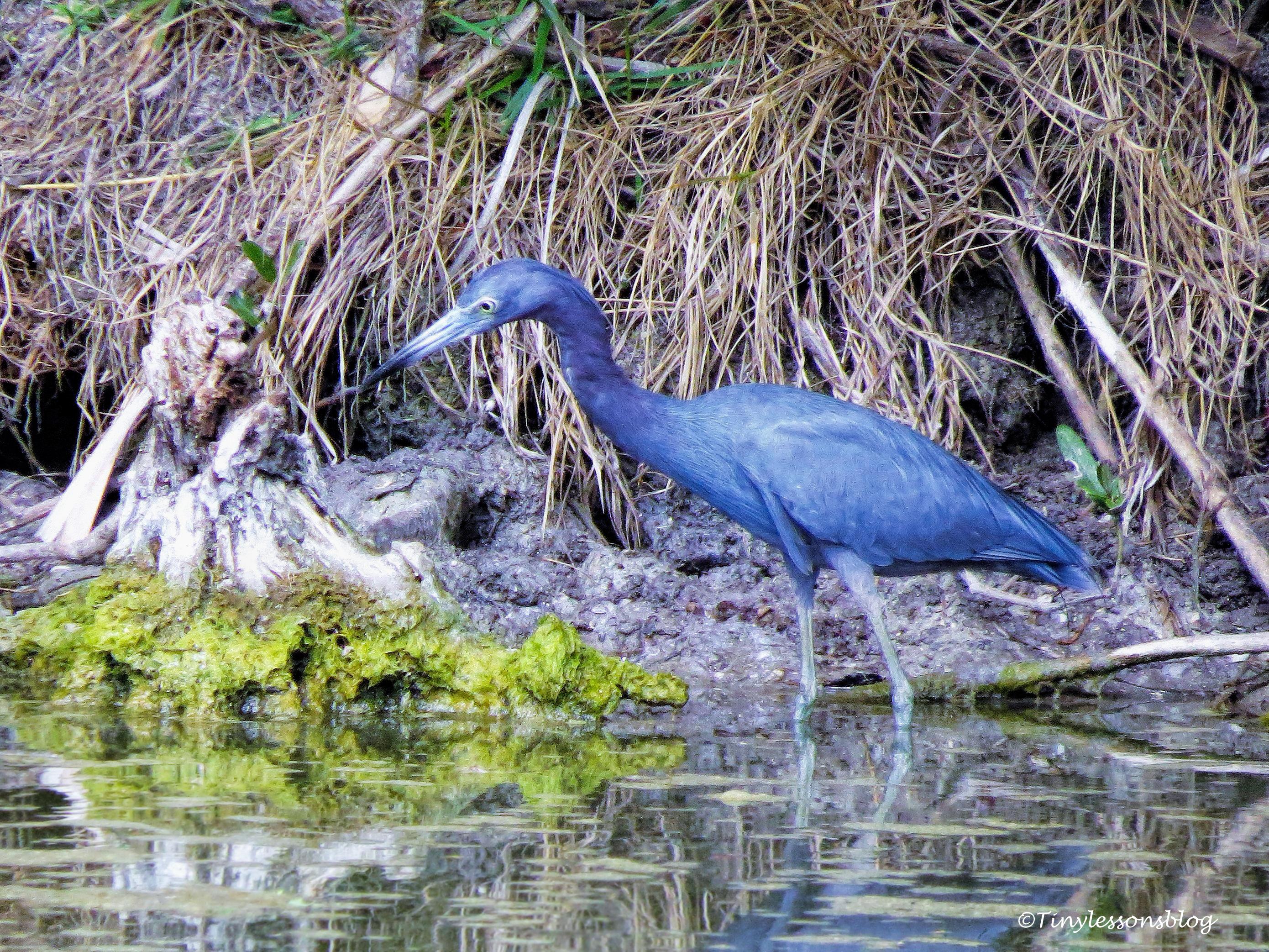 little blue heron ud113
