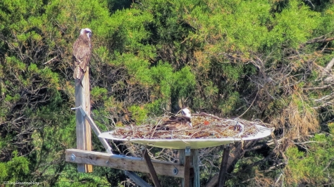 mama and papa osprey at the nest ud112