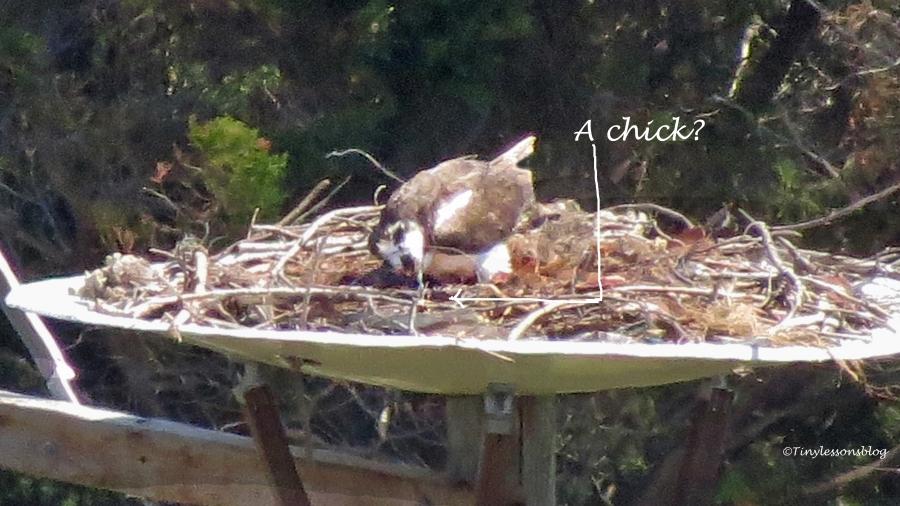 mama osprey feeding a second chick 2 maybe ud113