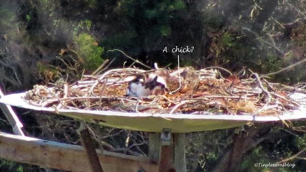 mama osprey feeding maybe 3 ud113
