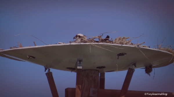 mama osprey in the dusk 2 ud112
