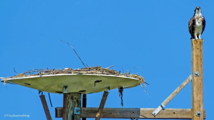 mama osprey on her break ud113