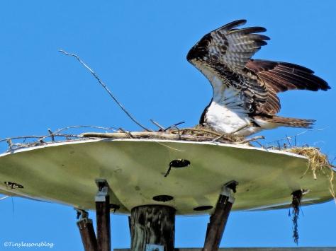 mama osprey returns to the nest ud113