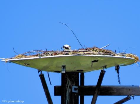 mama osprey sounds alarm 2 ud113
