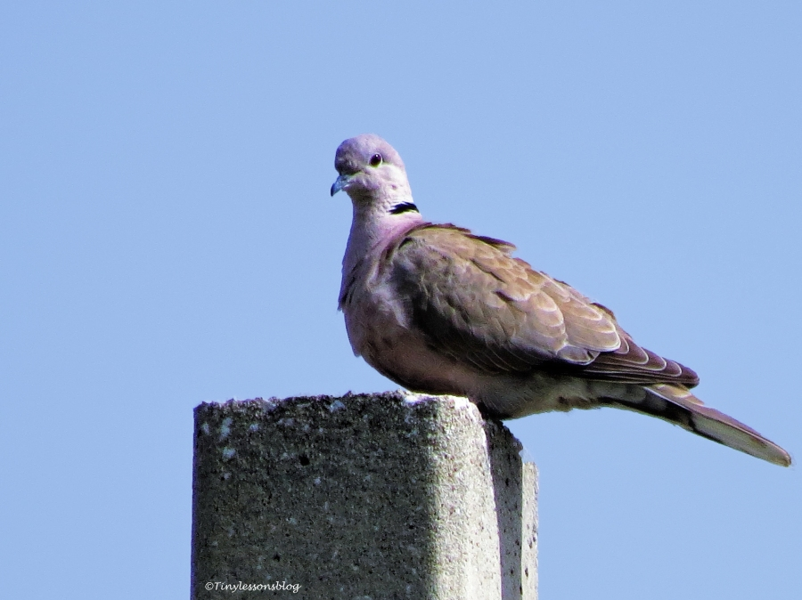 mourning dove ud113