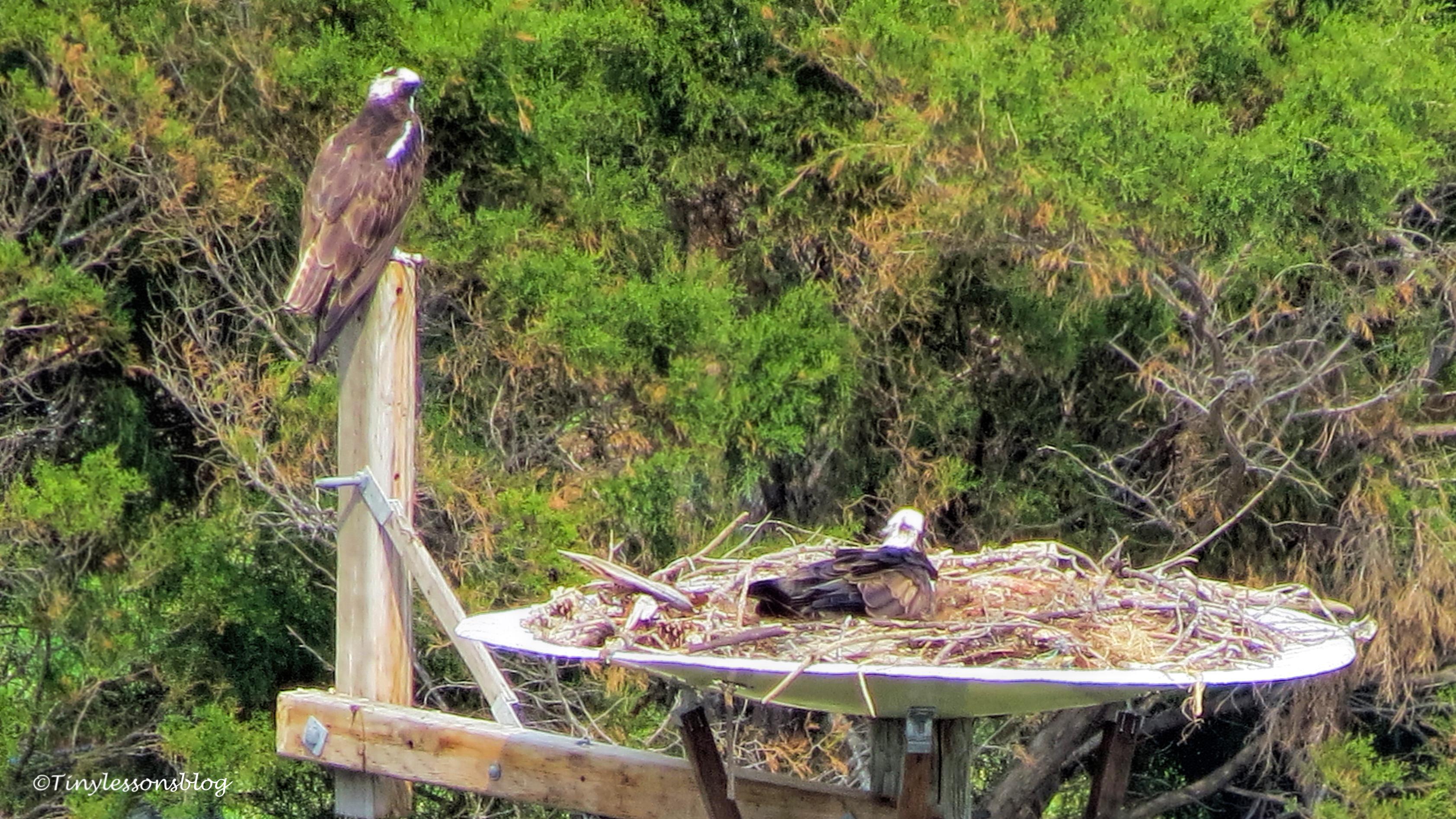 osprey couple ud113