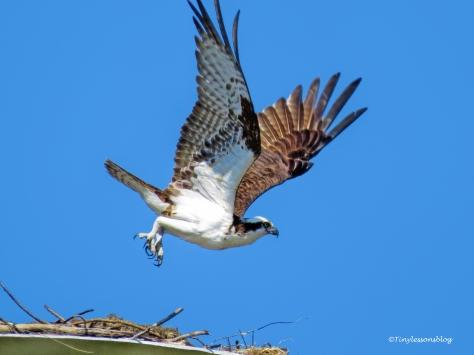 papa osprey leaves the nest ud113