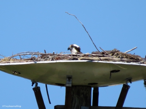 Papa Osprey sits on the eggs ud113