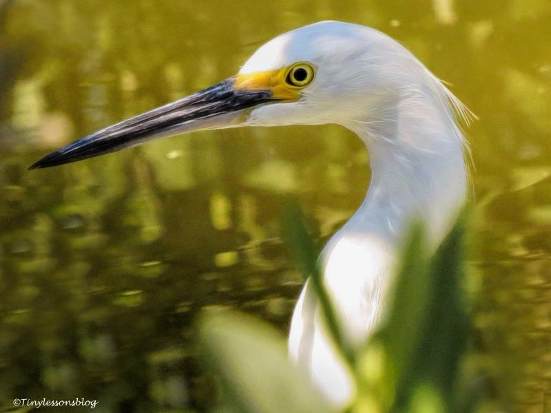 small snowy egret ud113