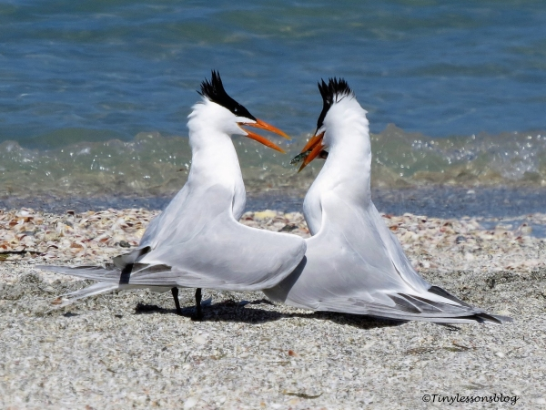 tern couple 2 ud114