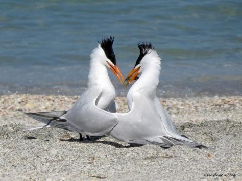 tern couple 3 ud114