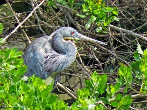 tri-colored heron ud112