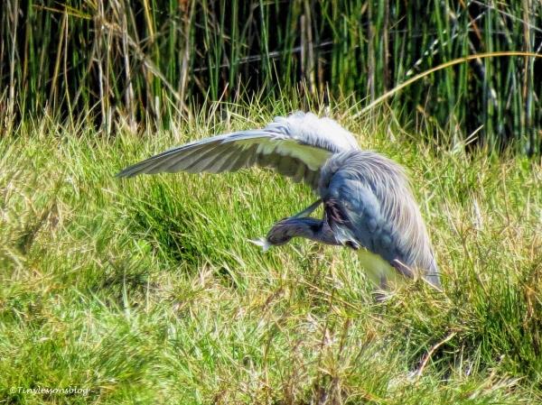 tri-colored heron ud113