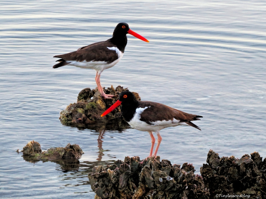 two Oyster catchers ud112