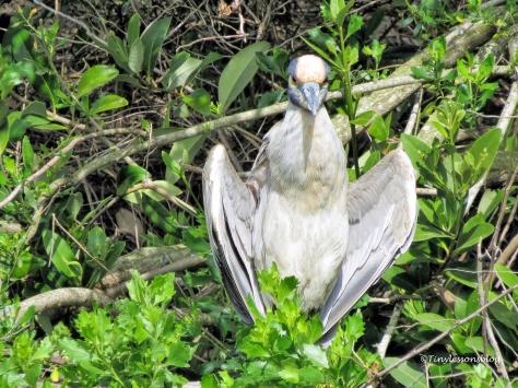 yellow-crowned night heron ud113
