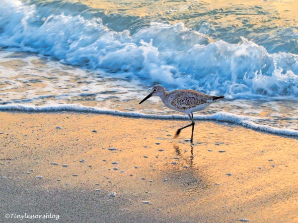 a willet at sunset ud121.jpg