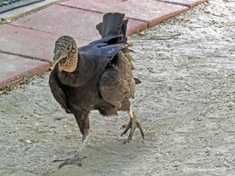 american black vulture 2 ud121