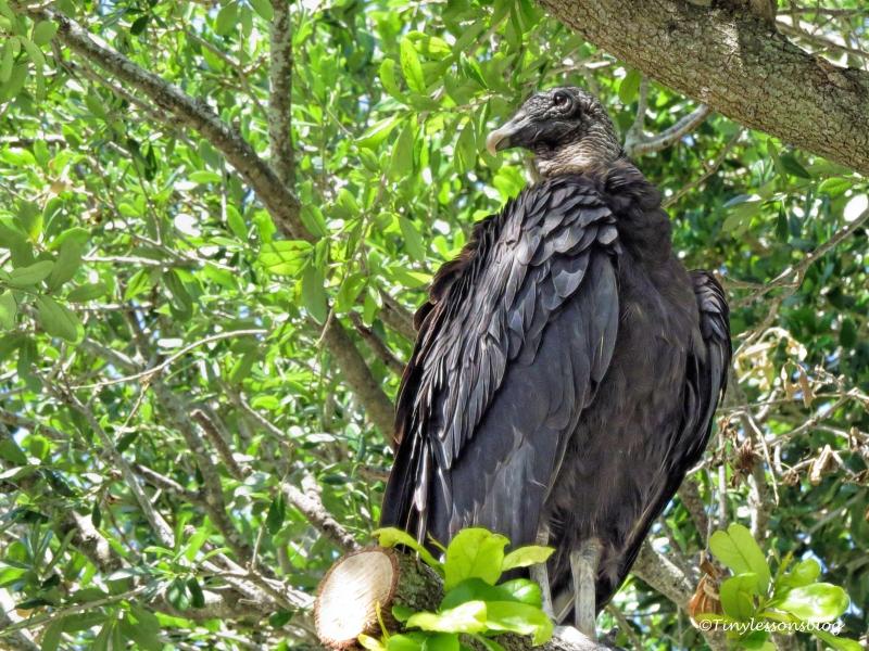 american black vulture ud121
