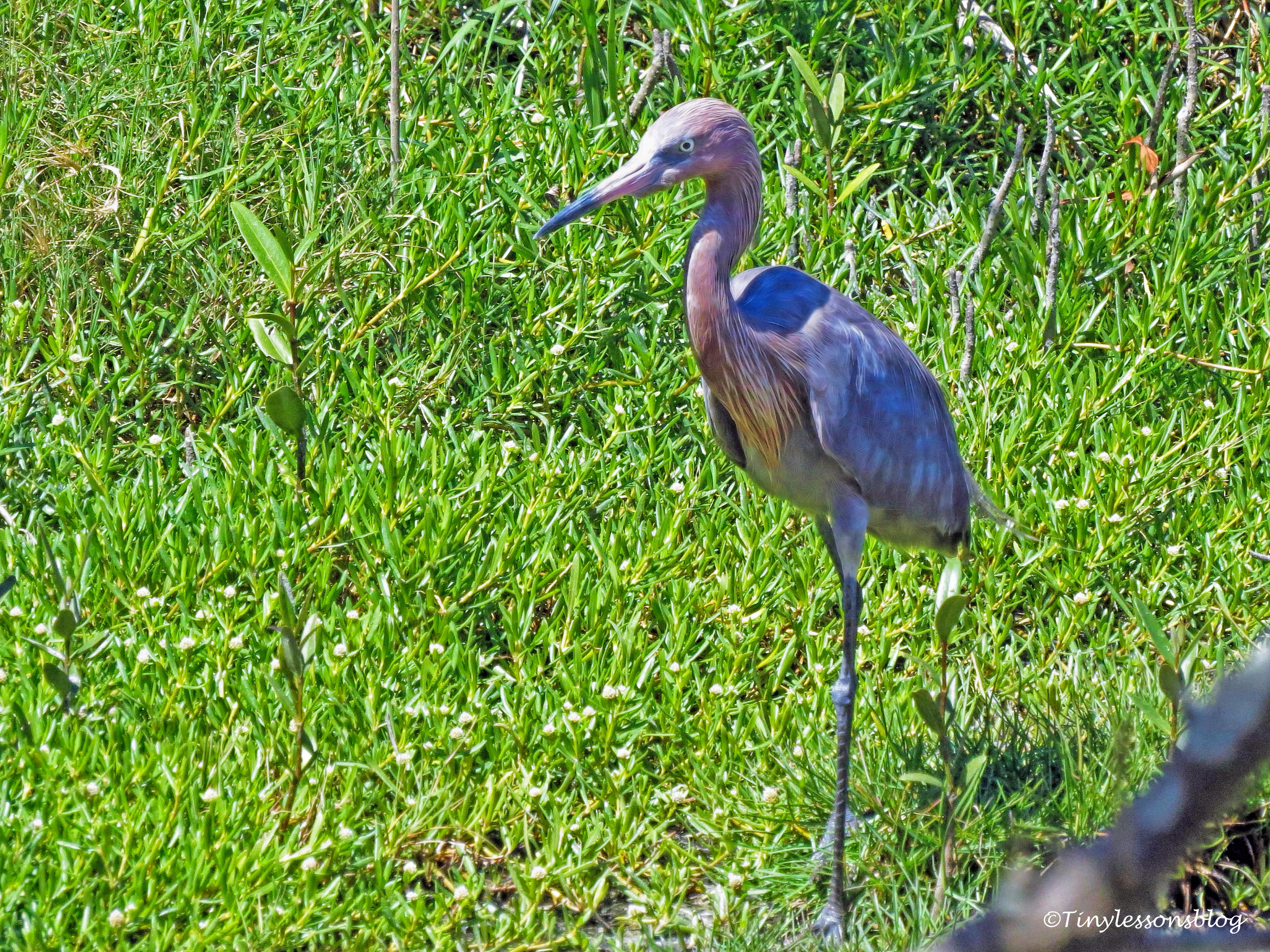 another reddish egret ud117