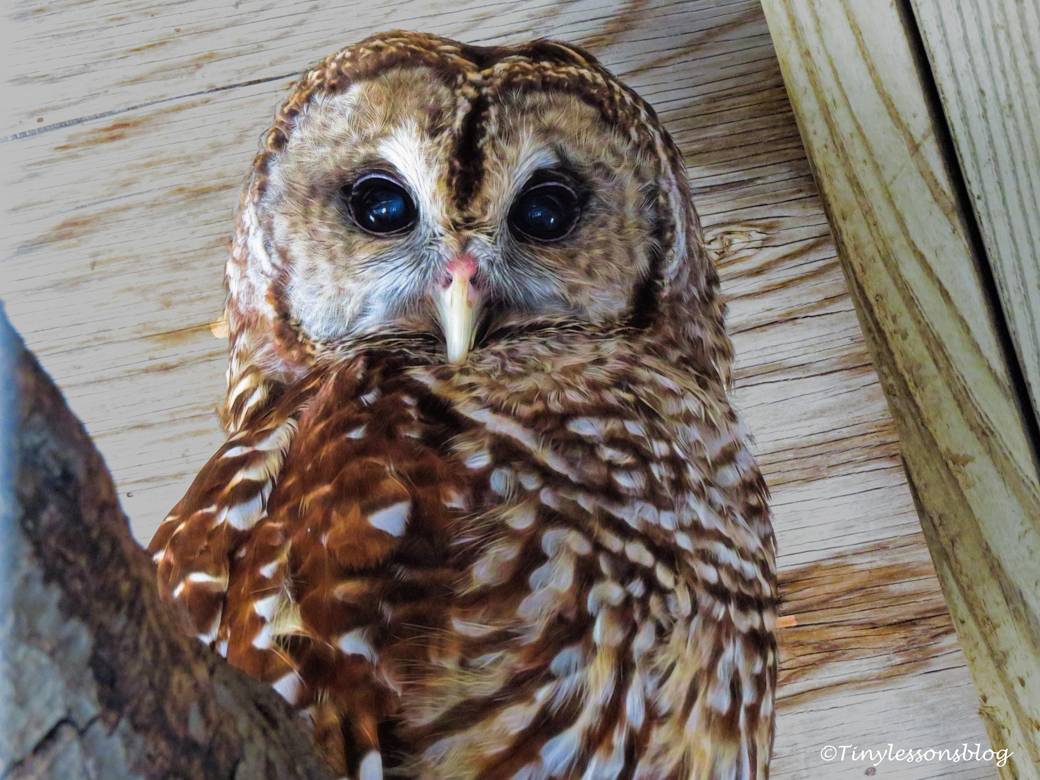barred owl ud121