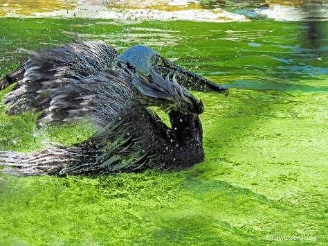 brown pelican bathing ud121