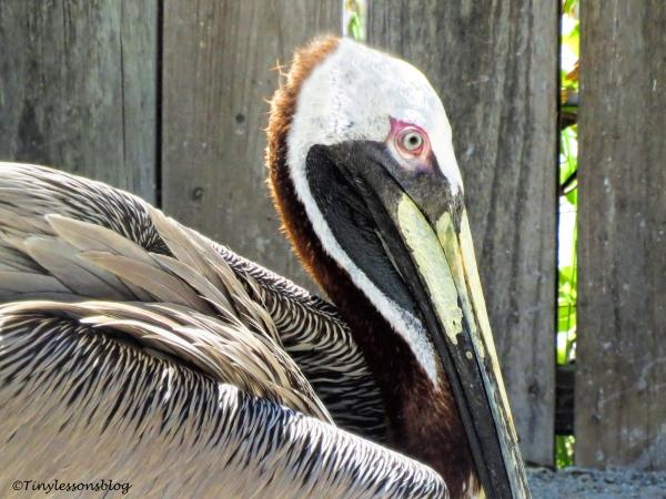 brown pelican closeup ud121