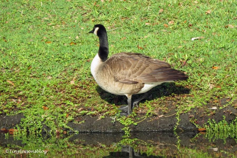 canada goose ud122